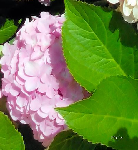 hydrangea small edit